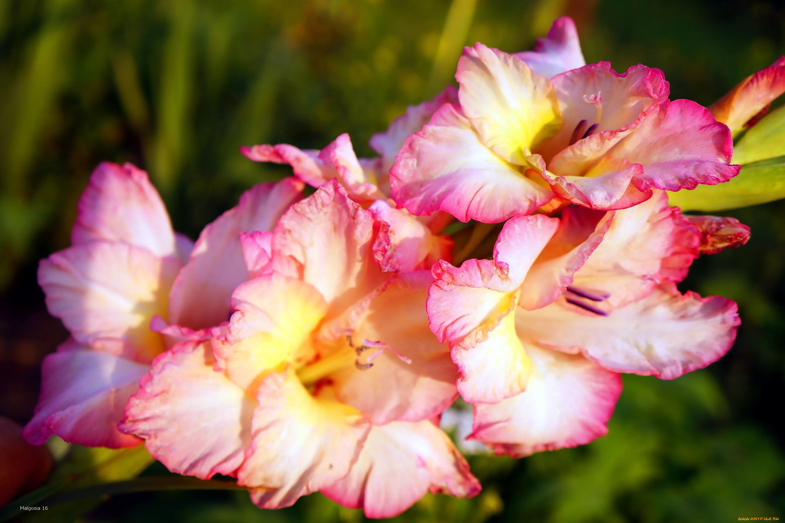 световой импульс открытки цветы гладиолусы нет